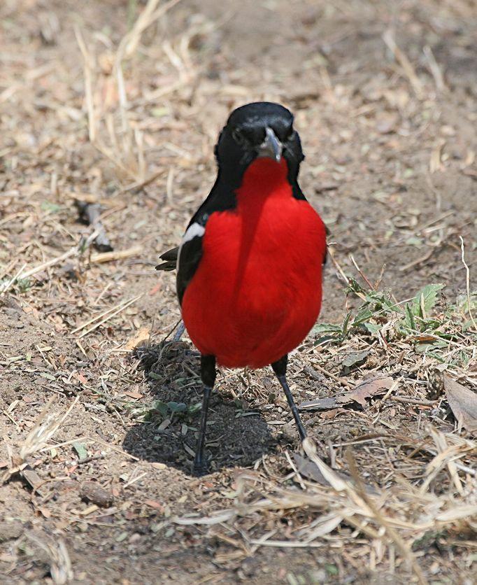 Oiseaux for Oiseau bec rouge